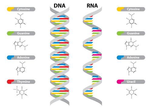 DNA-26-RNA.png