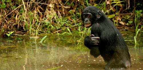 aquatic-ape.jpg
